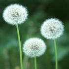 Square pic dandelion flower pictures