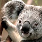 Square pic koala