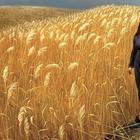 Square pic wheat field
