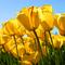 Square pic 60 tulips