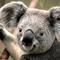 Square pic 60 koala