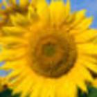 Square pic 140 sunflower
